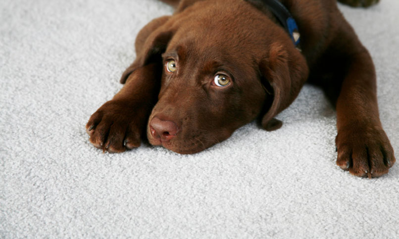 how to get chocolate dog puke out of carpet howsto co. Black Bedroom Furniture Sets. Home Design Ideas